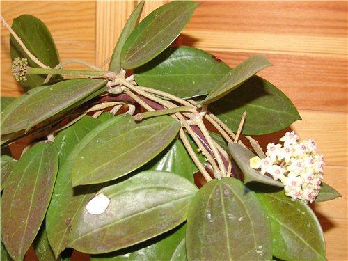 Hoyablüten 2012 - Seite 2 73e35c56a96b