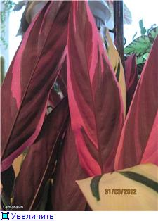 Марантовые (маранта, калатея, ктенанта, строманта) - Страница 4 2e083e596957t