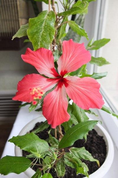 Наши любимые домашние растения! - Страница 2 25fee47a8a36