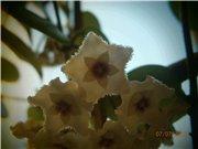 Hoya cv.Mathilde, Hoya  cv.Chouke 6c7a799caf53t