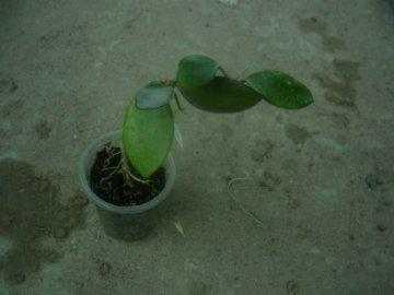 декоротивно-лиственные и красивоцветущие растения - Страница 4 35a2e5195faf
