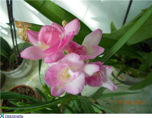 Выгонка луковичных. Тюльпаны, крокусы и др. - Страница 9 C2888e7de38ft