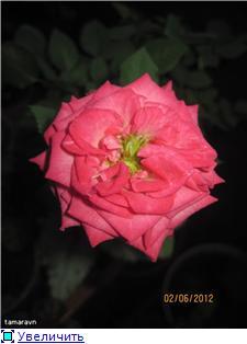 Розы в комнатной культуре - Страница 4 C0c577f5dad1t