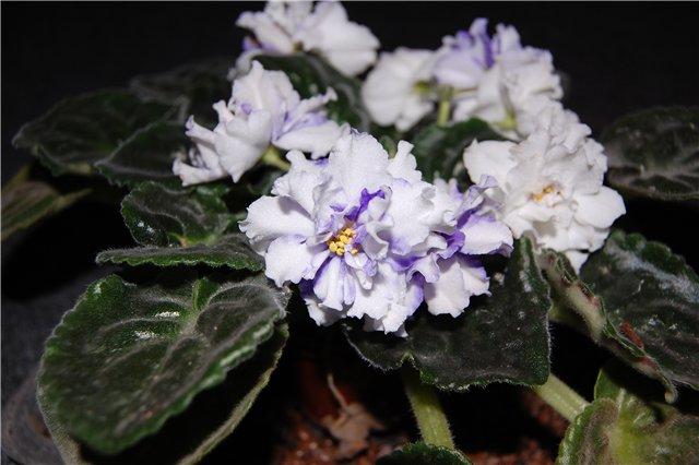 Растения Татьяны Малыгиной-фиалки, адешки, хойи, орхи... 6b3ad63beeda