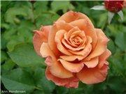 Розы-2013 Bbecf3990664t