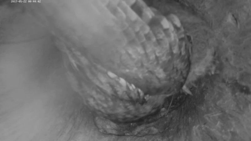 Estonian Tawny Owl Webcam 2017-2018 - Page 2 3d9ba8a06ced