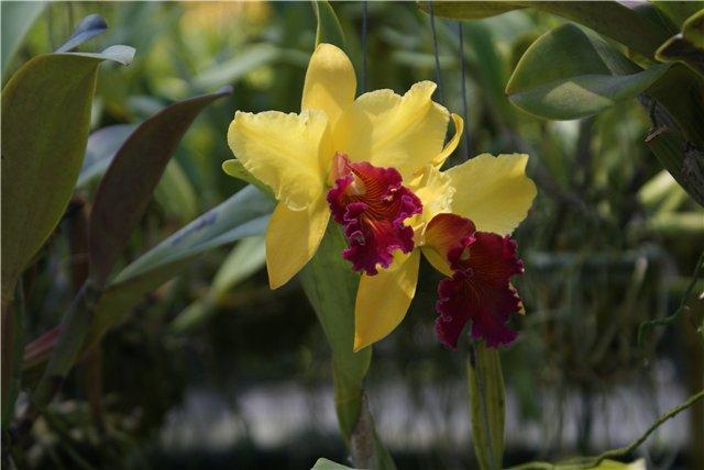 Орхидеи и прочая красота на о. Пхукет - Страница 19 3aeedd008d52