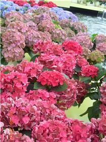 Рай тюльпанов или Кёкнхов - 2012 471a2d7b5c51t