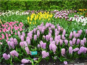 Рай тюльпанов или Кёкнхов - 2012 4d47ef88e77at