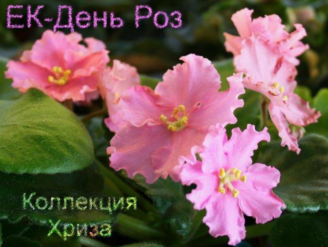 Цветущие сортовые фиалки в Алматы (Астане, Капчагае) от 800 тг 0cbdd7282f7d
