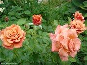 Розы-2013 E7ff5a5314eat
