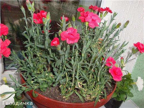 Які квіти прикрашають Ваші ґанки, підвіконня, балкони? F371065cdd11
