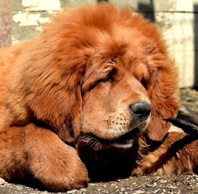 «Tibetan Mastiff Breeding Plans and Puppies for Sale». 200caf2b1483