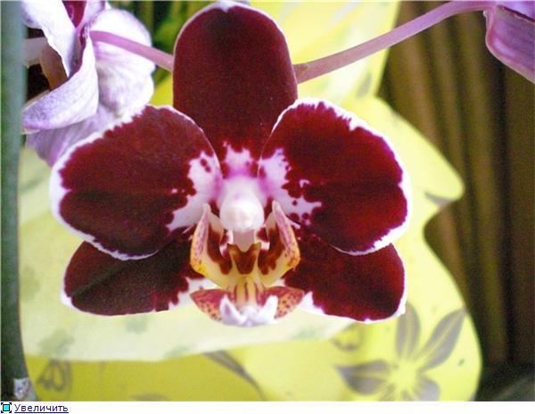 Странности и интересности наших орхидей - Страница 6 41eede56c7a1t