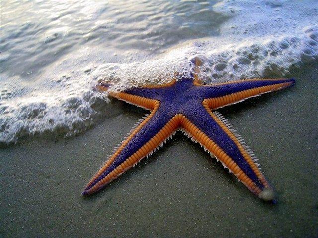 Морская звезда Cf6ca4e79ca9