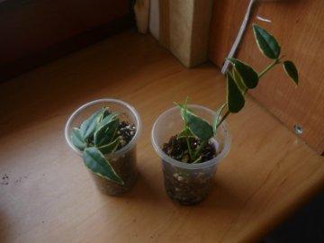 декоротивно-лиственные и красивоцветущие растения - Страница 4 B4879e788ec8