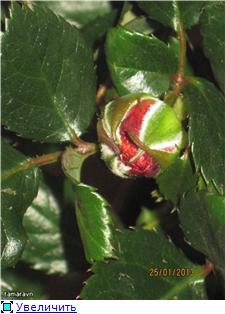 Розы в комнатной культуре - Страница 7 Ab2e7c43abcct