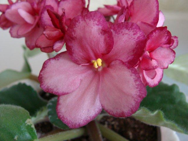 Мои цветочки - Страница 39 4c077ce4bf61