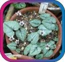 продам семена экзотических растений - Страница 3 044a6ac73c22