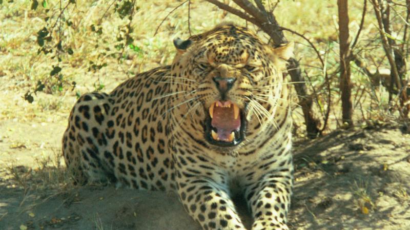 Jaguar venezuelano VS Leopardo macho monstro 4536fdbc0215