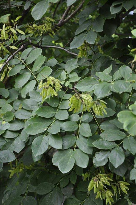 Дерево  семейства  бобовых 3099418c5ef0