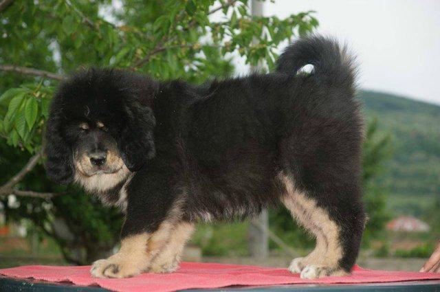 «Tibetan Mastiff Breeding Plans and Puppies for Sale». 922f7d134ed3