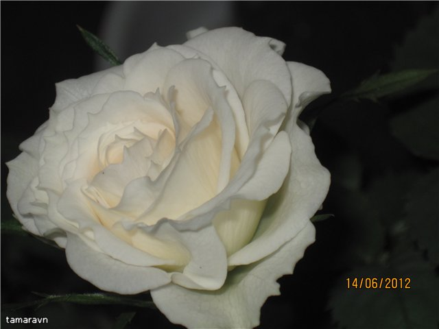 Розы в комнатной культуре - Страница 5 7a34f0d38223