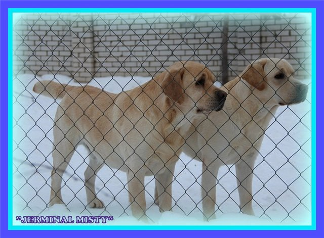 "Питомник ""Прима Персона"". Мои собаки-моя жизнь! B5f5a5fd79a0"