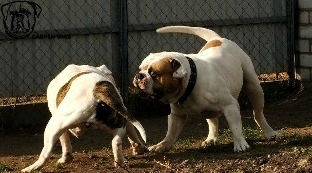 Собаки питомника Carpen Diaz - Страница 2 10191be88646