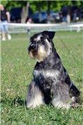 Цвергшнауцера щенки, окрас черный с серебром 685376d8f725t