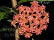 декоротивно-лиственные и красивоцветущие растения - Страница 4 078be3f77af3
