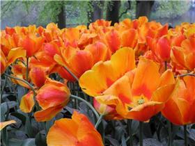 Рай тюльпанов или Кёкнхов - 2012 Febc1cb11a69t