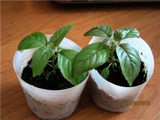 Размножаем семенами и косточками B0b389f76606
