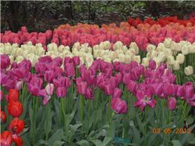 Рай тюльпанов или Кёкнхов - 2012 D483c9b69504t