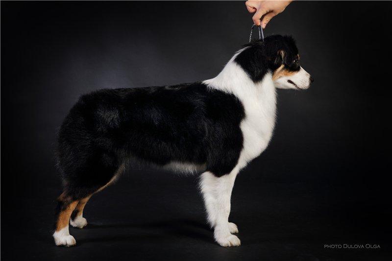 """Питомник """"Aurum Dog"""" 95f625deec55"""