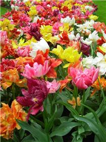Рай тюльпанов или Кёкнхов - 2012 0b5c707a94act