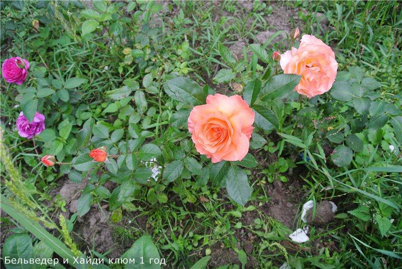 Розы-2013 9a1b13b0137a