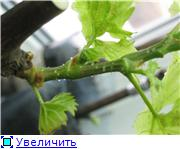 Виноград- секреты выращивания - Страница 2 6bde49d0d336t