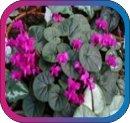 продам семена экзотических растений - Страница 3 73d7b4b3ba27