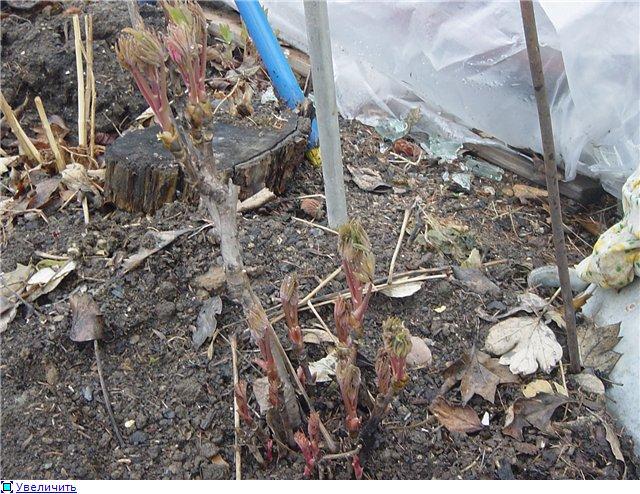 Пионы травянистые, ИТО-гибриды, видовые, древовидные, Рока Bfa66048f36ft