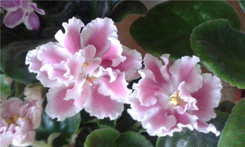 Весеннее  цветение (Хваст от Веры) - Страница 9 2e4a52958e4f