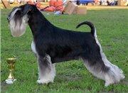 Цвергшнауцера щенки, окрас черный с серебром F12aba2dd8ddt