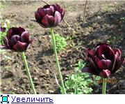 Тюльпаны - Страница 2 0e5729565241t