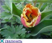 Тюльпаны - Страница 2 8d69bd505b8bt