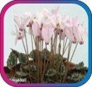 продам семена экзотических растений - Страница 3 2356decc9c80
