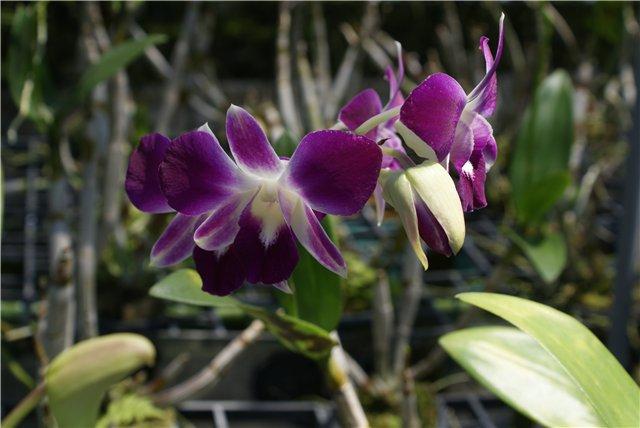Орхидеи и прочая красота на о. Пхукет - Страница 19 A47ba3fad150