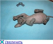 Донские сфинксы A236102da316t