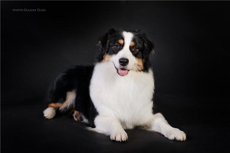 "Питомник ""Aurum Dog"" - Страница 2 F8e5db6bc48f"