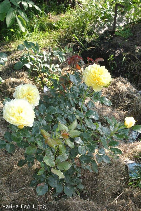 Розы-2013 9346b7f40361
