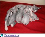 Донские сфинксы 12be5f101c33t
